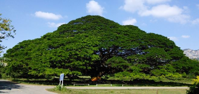 Giant Monkey Pod Tree